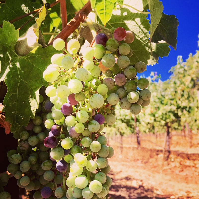 Veraison on Merlot at Arrowood Estate Vineyard.