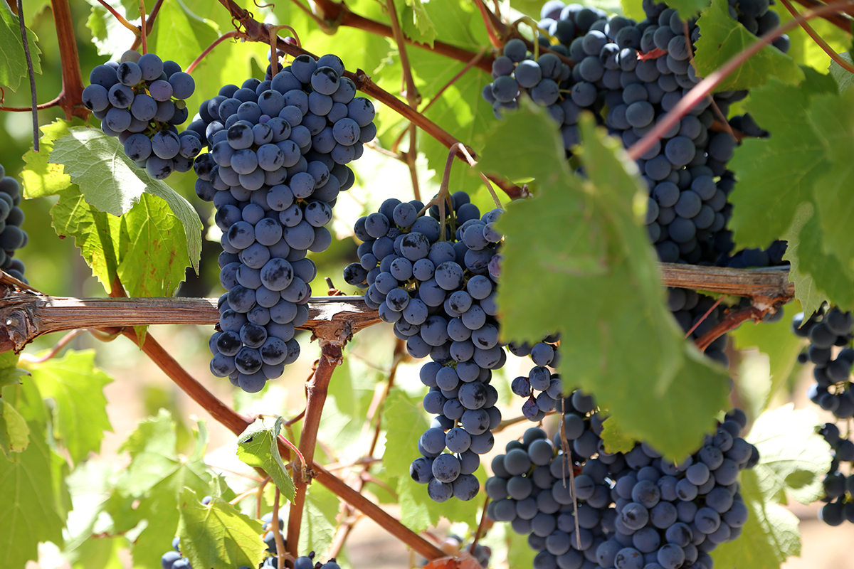 Arrowood grapes on the vine